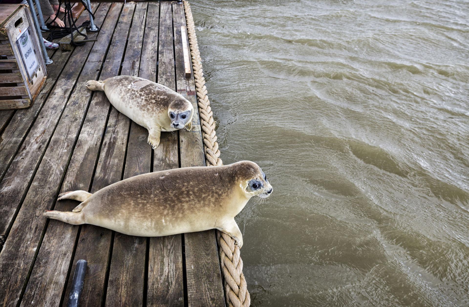 Zeehonden uitzetten op de Engelsmanplaat